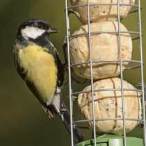 Suet balls in feeder with Great tit