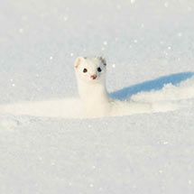 Winter weasel RSPB charity Christmas cards - 10 pack product photo