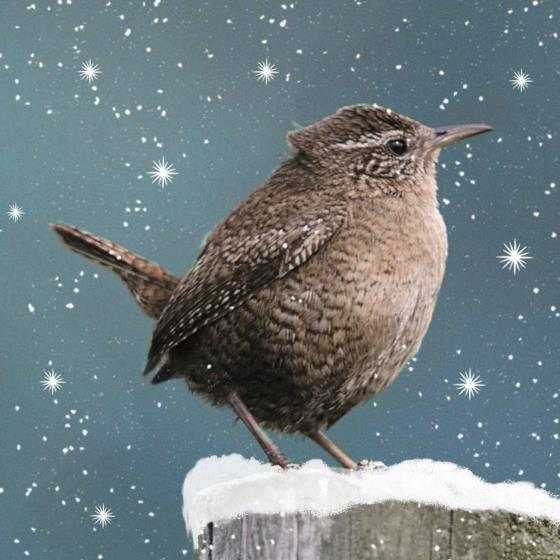 Snowy wren RSPB charity Christmas cards - 10 pack product photo
