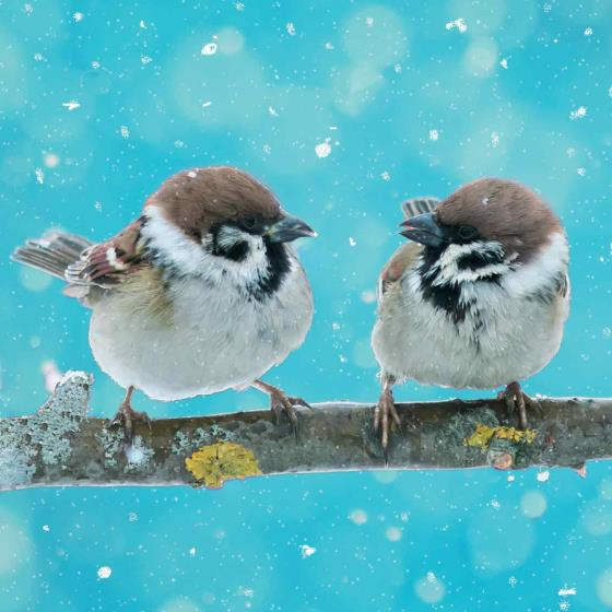 Sparkling sparrows RSPB charity Christmas cards - 10 pack product photo