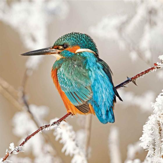 Winter jewel RSPB charity Christmas cards - 10 pack product photo Default L