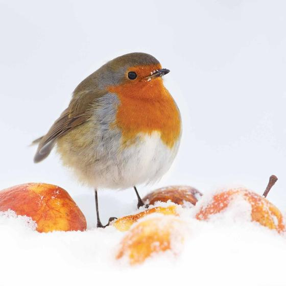Winter's feast RSPB charity Christmas cards - 10 pack product photo Default L