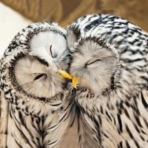 Ural owls greeting card product photo