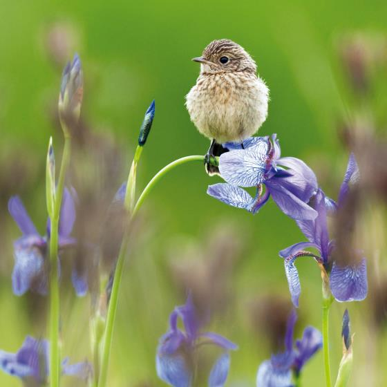 Young stonechat greeting card product photo Default L