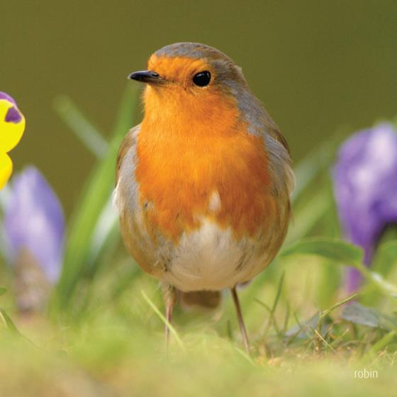 Robin singing greeting card product photo Default L