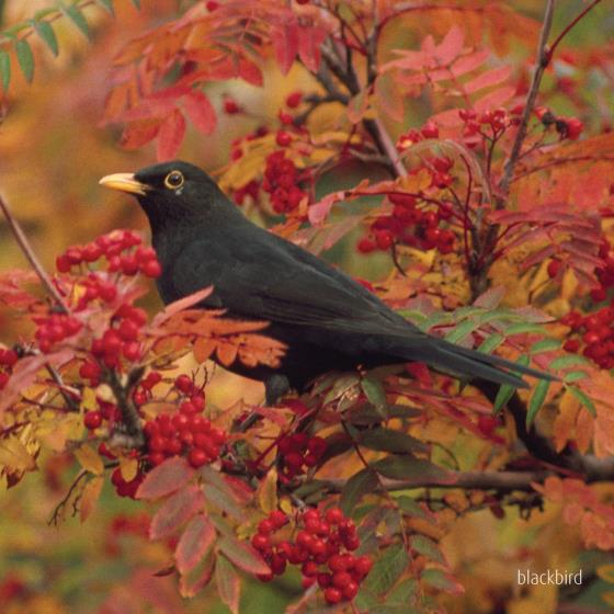 Blackbird singing greeting card product photo Default L