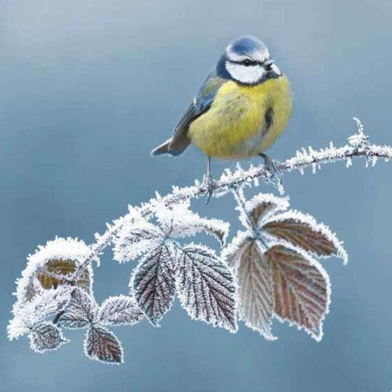 First frost RSPB charity Christmas cards - 10 pack product photo Default L
