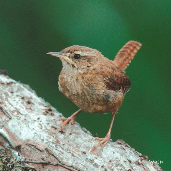 Wren singing greeting card product photo Default L